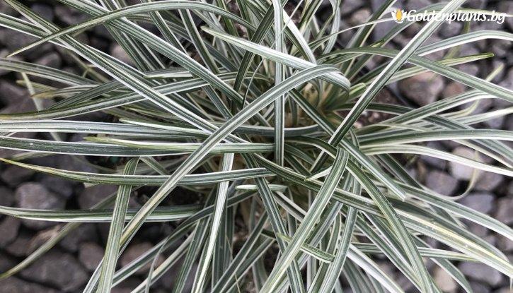 Снимка Сребърен Офиопогон / Ophiopogon Silver Mist /