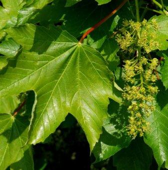 Обикновен явор / Acer pseudoplatanus /