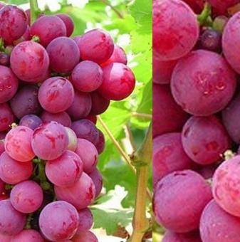 Лоза Ребол - червено десертно, едро грозде -  средно зреещ сорт..