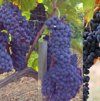 Лоза Мелник 55 - хибриден, винен сорт грозде -  ранно зреещ..