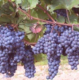 Лоза Регент - червен винен сорт грозде -  къснозреещ..