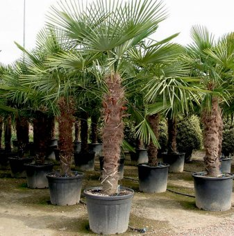 Китайска конопена палма / Trachycarpus fortunei /