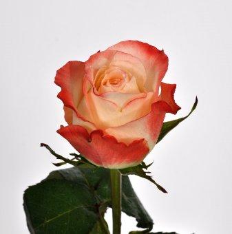 Роза пъстра шарена в контейнер