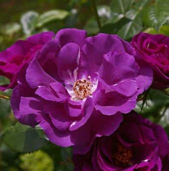 Роза синьо-лилав цвят в контейнер