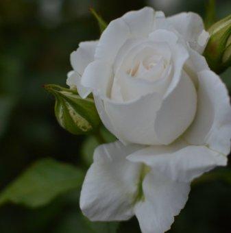 Роза бяла ароматна в контейнер