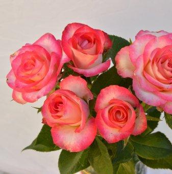 Роза бяла с розов кант в контейнер