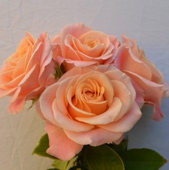 Роза праскова в контейнер