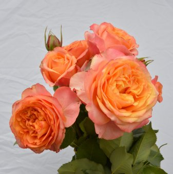 Роза праскова божур в контейнер
