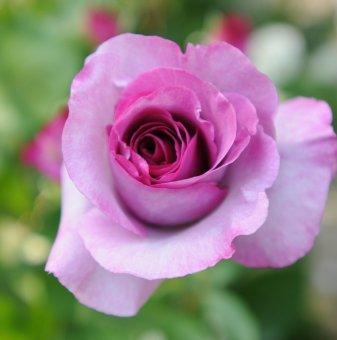 Роза лилава ароматна в контейнер