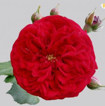 Роза червен помпон в контейнер