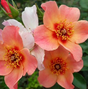 Роза шарена двуцветна в контейнер