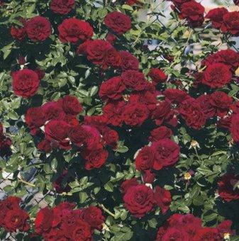 Роза тъмночервена катерлива ароматна в контейнер