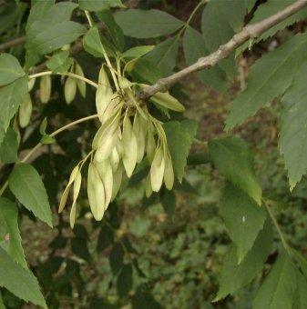 Полски ясен / Fraxinus angustifolia /