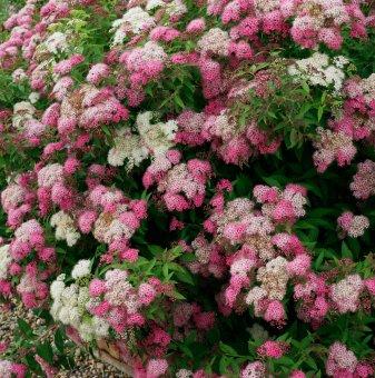 Японска Спирея / Spiraea japonica Shirobana /