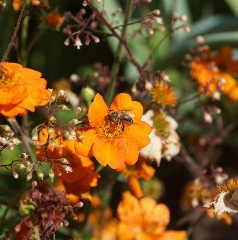Потентила / Potentilla fruticosa Tangerine /
