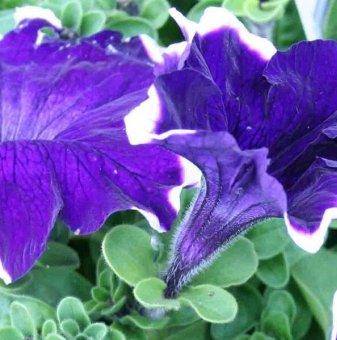 Петуния синя - едроцветна / Petunia Express Blue Ice /..