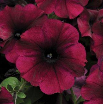 Петуния бордо - едроцветна / Petunia Express Burgundy /..
