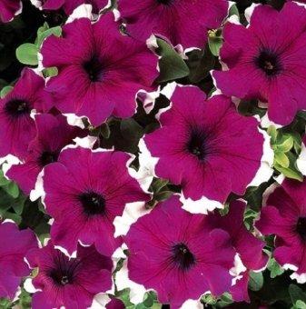 Петуния бордо - едроцветна / Petunia Express Burgundy Ice /..