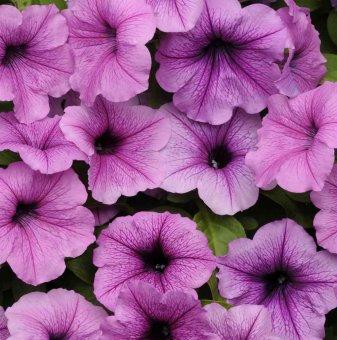 Петуния лилава - едроцветна / Petunia Express Plum Vein /..