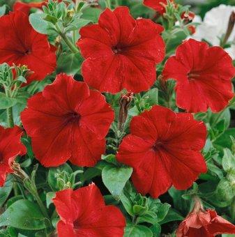 Петуния червена - едроцветна / Petunia Express Red /..