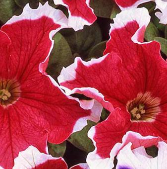 Петуния червена - едроцветна / Petunia Express Red Ice /..