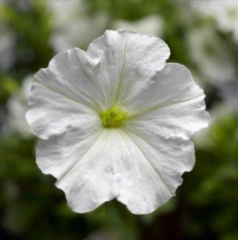 Петуния бяла - едроцветна / Petunia Express White /..