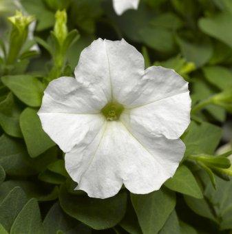 Петуния бяла - дребноцветна / Petunia Picobella White /..