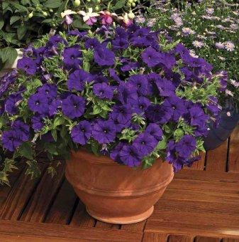 Петуния синя - дребноцветна / Petunia Picobella Blue /..