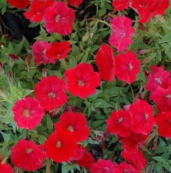 Петуния червена - дребноцветна / Petunia Picobella Red /..