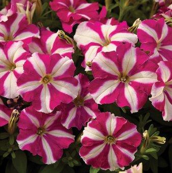 Петуния звезда - дребноцветна / Petunia Picobella Rose Star /..