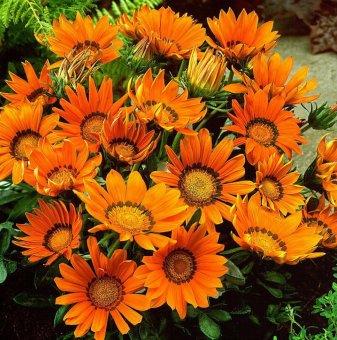 Газания Оранжева / Gazania Daybreak XP Orange /