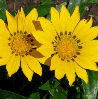Газания жълта / Gazania Daybreak XP Yellow /