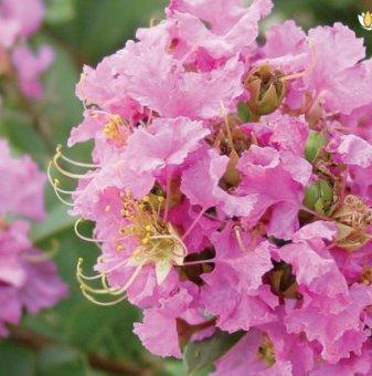 Индийски люляк Розов 50-100 см /Lagerstroemia/