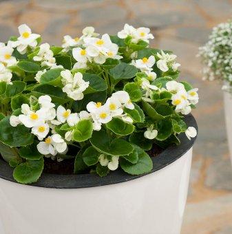 Бегония със зелени листа - Бяла / Begonia Semperflorens Emperor White /..