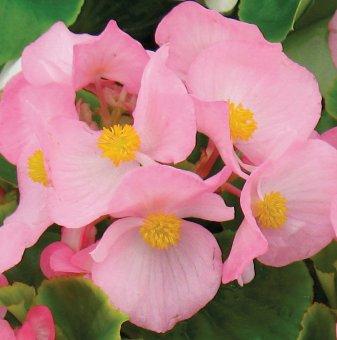 Бегония със зелени листа - Розова / Begonia Semperflorens Emperor Pink /..
