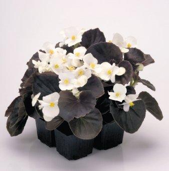 Бегония с червени листа - Бяла / Begonia Semperflorens New Globe White /..