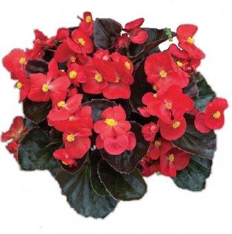 Бегония с червени листа - Червена / Begonia Semperflorens New Globe Red /..