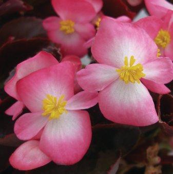 Бегония с червени листа - Розова / Begonia Semperflorens New Globe Pink /..