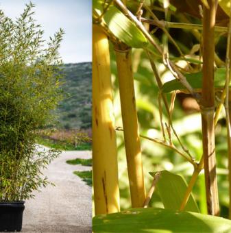 Бамбук / Bambusa Aurea /