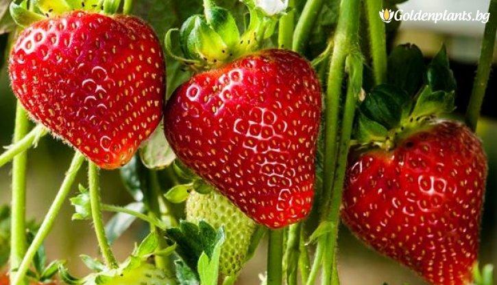 Снимка Ягода Кембридж Фаворит / Strawberry Cambridge Favourite /