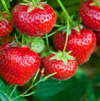 Ягода Кембридж Фаворит / Strawberry Cambridge Favourite /..