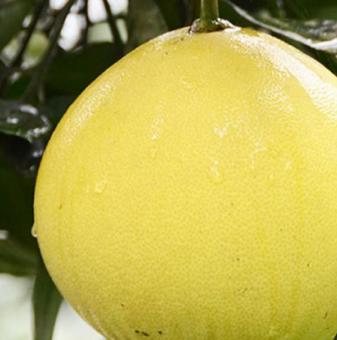 Помело / Citrus maxima /