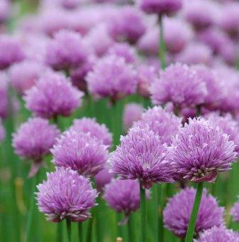 Сибирски лук - Резанец / Allium schoenoprasum /