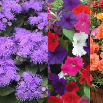 Цветен микс - петуния, агератум, калдаръмче и циганче..