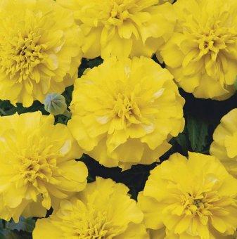 Пакет 20 броя Тагетис - жълт
