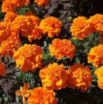 Пакет 20 броя Тагетис - оранжев