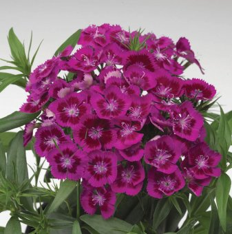 Турски карамфил Пурпурен / Dianthus Diabunda /