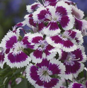 Турски карамфил Шарен / Dianthus Diabunda purple picotee /..