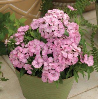 Турски карамфил Розов / Dianthus Diabunda pink /