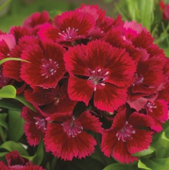 Турски карамфил Червен / Dianthus Diabunda red /
